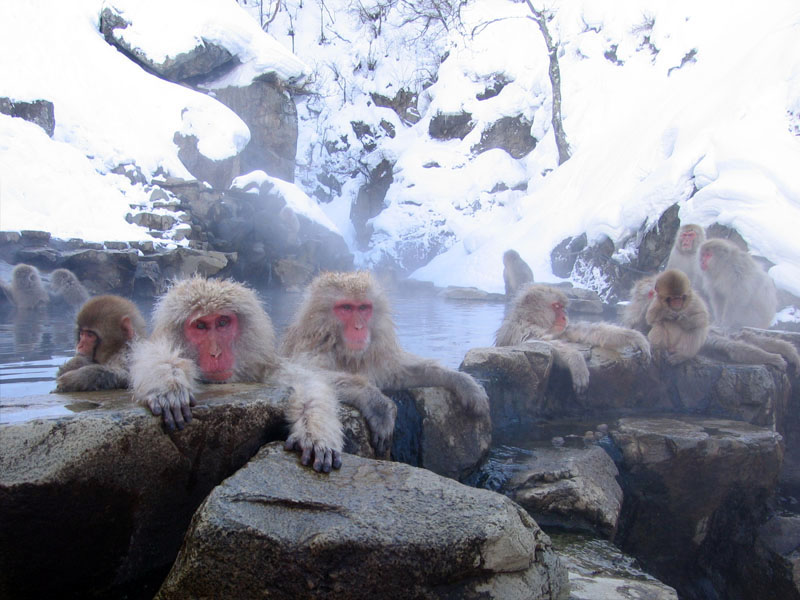 Makaken von Jigokudani: Foto by yosemite - commons.wikimedia.org zu finden unter https://commons.wikimedia.org/wiki/File:Jigokudani_hotspring_in_Nagano_Japan_001.jpg